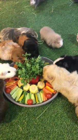 Guinea pigs get given a plate of fruit and vegetables collection item