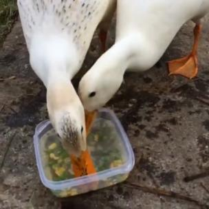 Ducks Eat Peas And Sweetcorn Incredibly Quickly collection item